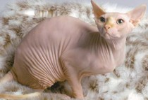 THIS cat has NO fur!